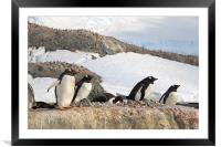 Gentoo Penguins In The Rookery, Framed Mounted Print