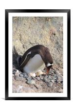 Gentoo Penguin With Eggs, Framed Mounted Print