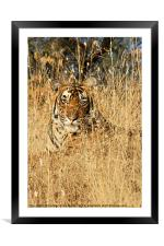 Sub-Adult Male Bengal Tiger, Framed Mounted Print