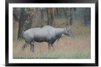The Nilgai is the largest Asian antelope, Framed Mounted Print