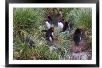 Macaroni Penguins in Their Rookery, Framed Mounted Print