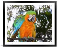 Harlequin Macaw, Framed Mounted Print