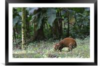 Agouti, Framed Mounted Print