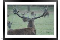 Stag Surveying Deer Herd, Framed Mounted Print