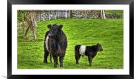 Belted Galloway Cow And Calf, Framed Mounted Print