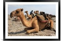Camel Waiting Patiently , Framed Mounted Print