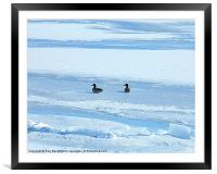 Cold Ducks, Framed Mounted Print