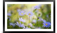 Swan River Daisy, Framed Mounted Print