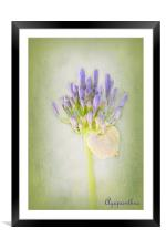 Agapanthus, Framed Mounted Print