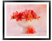Lewisia (2)...Pretty as a picture (4), Framed Mounted Print