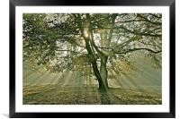 Tree, sun rays, early mist, Framed Mounted Print