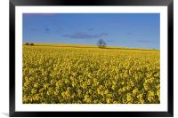 Yellow as far as the eye can see, Framed Mounted Print