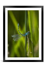 Common Blue Damselfly, Framed Mounted Print