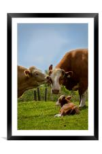 Kissin cows, Framed Mounted Print
