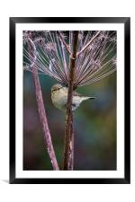 Young Willow Warbler, Framed Mounted Print