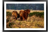 Highland cow and her calf, Framed Mounted Print