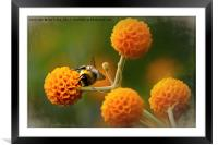 Busy bee on buddleia, Framed Mounted Print