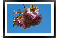 Pink and blue, Framed Mounted Print