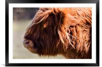 Highland cow portrait (2), Framed Mounted Print