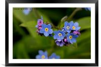 Forget-me-not in Springtime, Framed Mounted Print