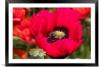 Blood-red Poppy macro image, Framed Mounted Print
