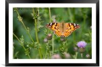 Painted Lady Butterfly, Framed Mounted Print