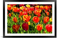 Red and Yellow Tulips, Framed Mounted Print