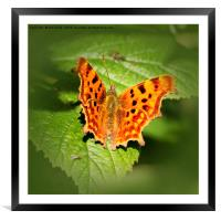 Comma Butterfly Resting, Framed Mounted Print