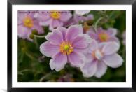 Beautiful Pink Clematis, Framed Mounted Print