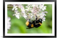 Bee gathering Pollen, Framed Mounted Print