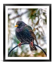 The Starling, Framed Mounted Print