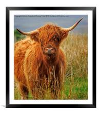 Red Highland Cow, Northumberland, Framed Mounted Print