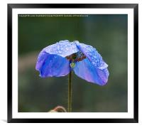 Himalayan Blue Poppy, Framed Mounted Print