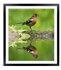 Common Chaffinch, Fringilla coelebs, male, Framed Mounted Print