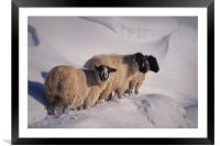 sheep in the snow, Framed Mounted Print