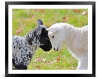 Black and white Lambs, Framed Mounted Print