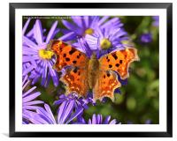 Comma Butterfly, Framed Mounted Print