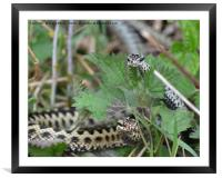 Adders , Framed Mounted Print