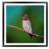 Ruby-throated Hummingbird, Framed Mounted Print