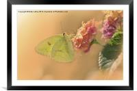 Clouded Sulphur Butterfly, Framed Mounted Print