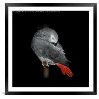 Beautiful African Grey, Framed Mounted Print