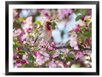 House Finch in Spring, Framed Mounted Print