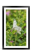 Cabbage White Butterfly, Framed Mounted Print