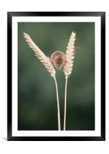 Balancing between the wheat, Framed Mounted Print