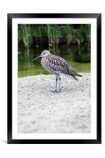 Curlew, Framed Mounted Print