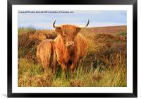 Highland Cow & baby, Framed Mounted Print