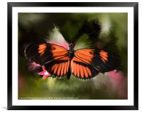 Black and Orange Butterfly, Framed Mounted Print