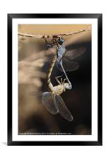 Dragonflies mating, Framed Mounted Print