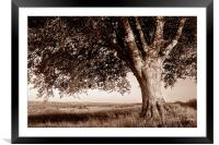 Beech Tree in Sepia, Framed Mounted Print