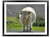 highland cow face off 2, Framed Mounted Print